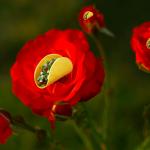 taco-roses-3