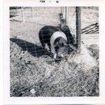 Brenda's pet pig, Harvey.