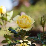 Rose-Smell-02