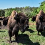 bison-2