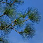 pine-detail